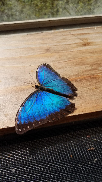 - The blue morphos – the favorite of many people – because their blue is structural and changes with the way the light is shining on the wings….and that even the underside and body have interesting color and markings.