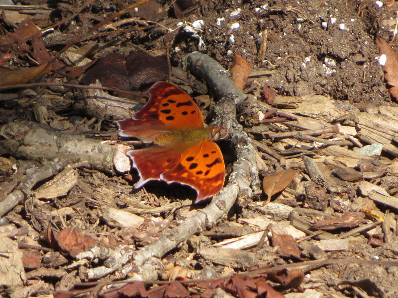 - Question Mark Butterfly. I was thrilled to notice the butterfly in the mulch at Brookside Gardens when its wings were open. I would have never seen it had its wings been closed. I celebrated a second time after I got home and figured out what kind of butterfly it was.