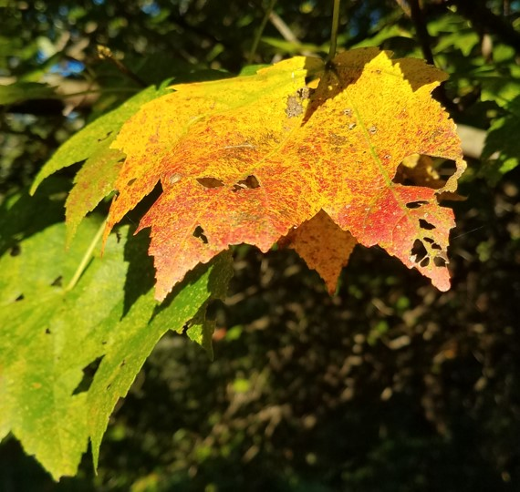 - Right now, I am just enjoying the occasional colorful leaf on the maple.