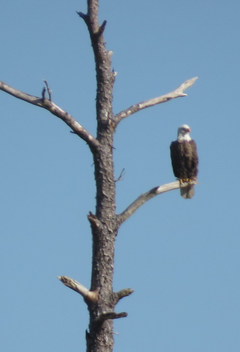 - Blackwater was the first place I saw a Bald Eagle in the wild (back in 1990) and now they are even more numerous in the refuge. This time the eagle we saw was in the far distance. I zoomed as much as I could and got an OK picture for identification.