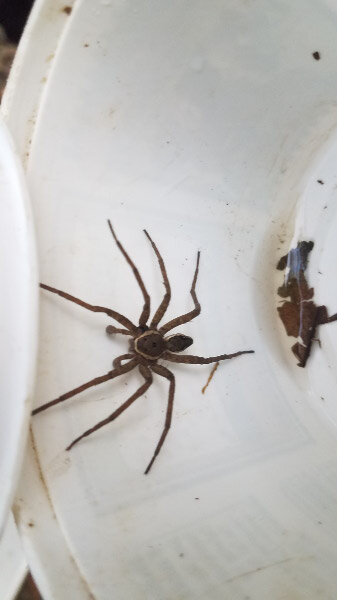 - We found some macroinvertebrates…but everyone was more enthusiastic than usual with other living things we found that weren't part of the assessment. This large spider caused quite a lot of excitement!