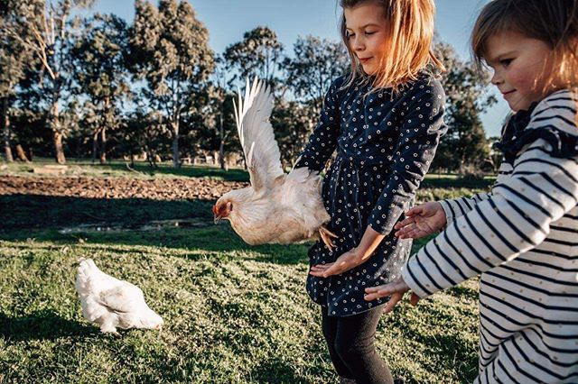 #shamoftheperfect #thefamilynarrativeaustralia #thehonestlens #dearestviewfinder #fleetingtotimeless #farmlife #laurenmcadamphotography #geelongbusiness #geelongfamilyphotography #geelongkids #chickens #talesofthemoment