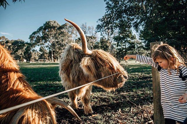 These guys were so adorable but those horns! 😳 They came a bit too close for comfort when I was on the fenceline but I had to stick it out for the shot 😂📷 #laurenmcadamphotography #cattle #geelongkids #inhomefamilysession #geelongbusiness #geelongfamilyphotographer #farmlife #highlandcattle