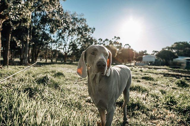 At my sessions every family member gets in the frame! This guy is nailing the 'just look off into the distance and act casual' look 🤣  #laurenmcadamphotography #familystories #geelongbusiness #geelongfamilyphotographer #thefamilynarrativeaustralia #geelongphotography #dogsofgeelong  #weimaraner #weimaranersofinstagram