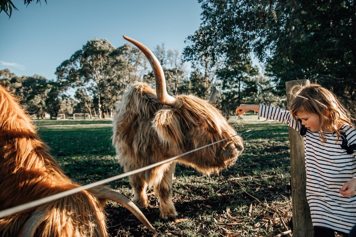 Little girl feeding Scottish highland cattle Lauren McAdam Photography Geelong torquay newtown armstrong creek moriac family photographer  -10.jpg