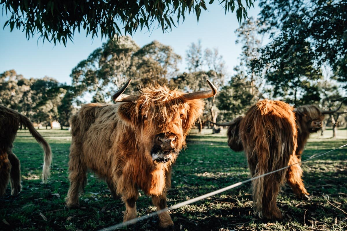 Scottish Highland Cattle on Farm on Geelong Lauren McAdam Photography Geelong torquay newtown armstrong creek moriac family photographer-11.jpg