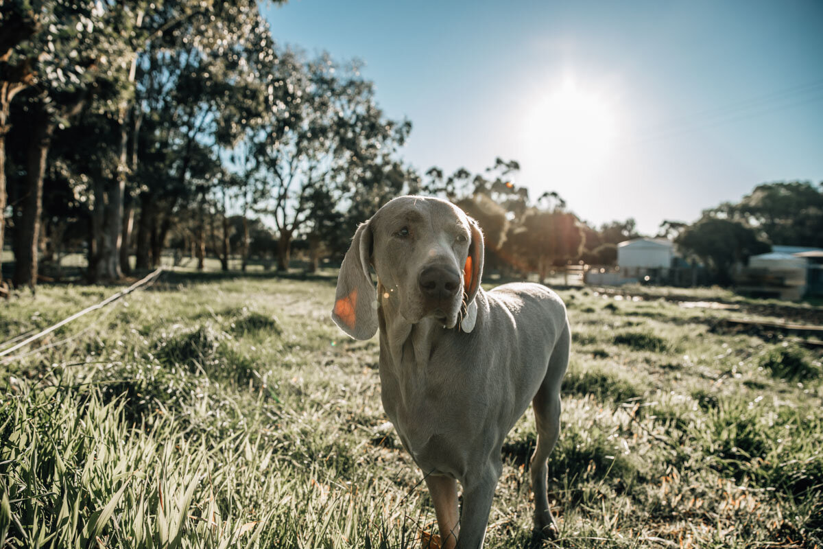 Weimaraner dog in grass on farm Lauren McAdam Photography Geelong torquay newtown armstrong creek moriac family photographer-8.jpg