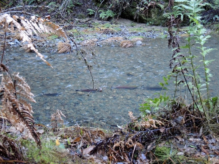 Russian River Coho - Mill Creek (photo courtesy of Mary Ann King)