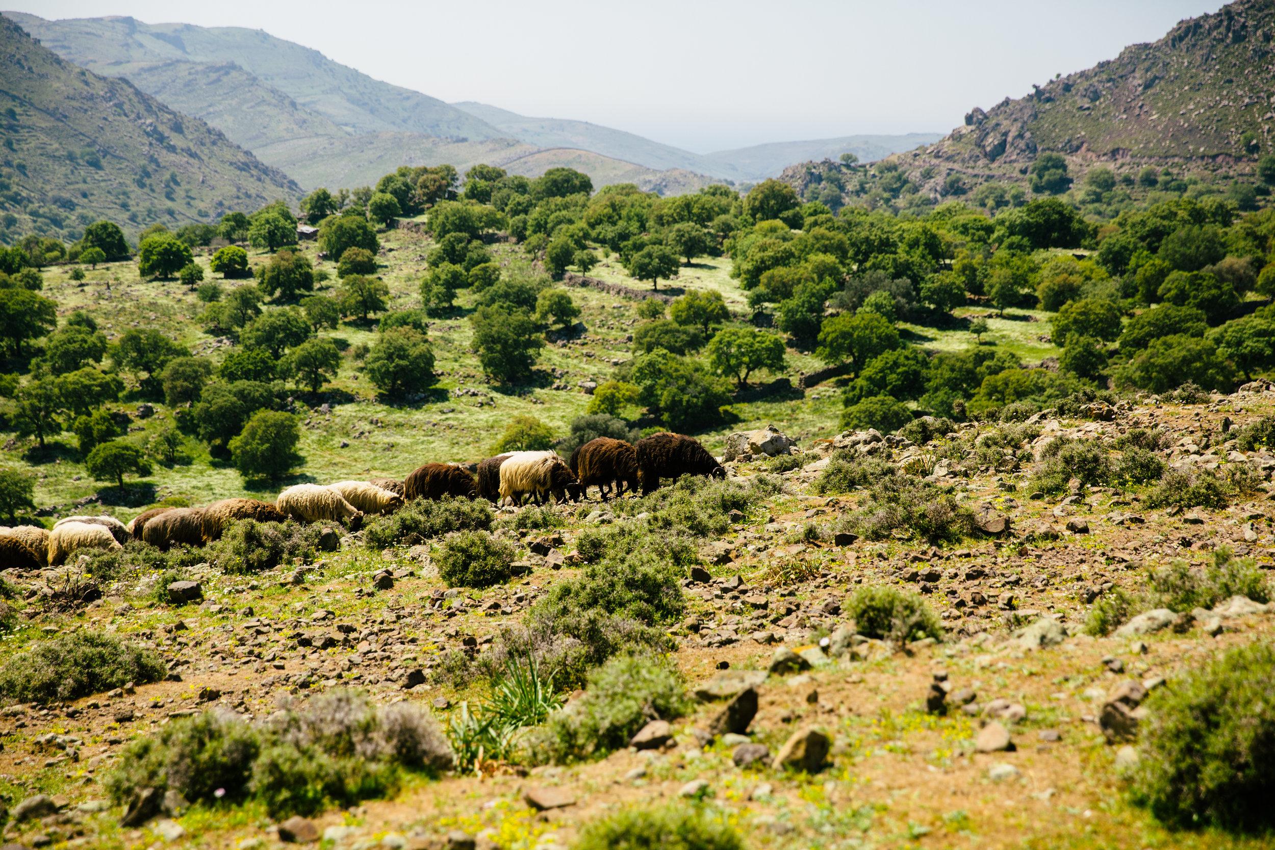 Essex Feta Lesbos Sheep.jpg
