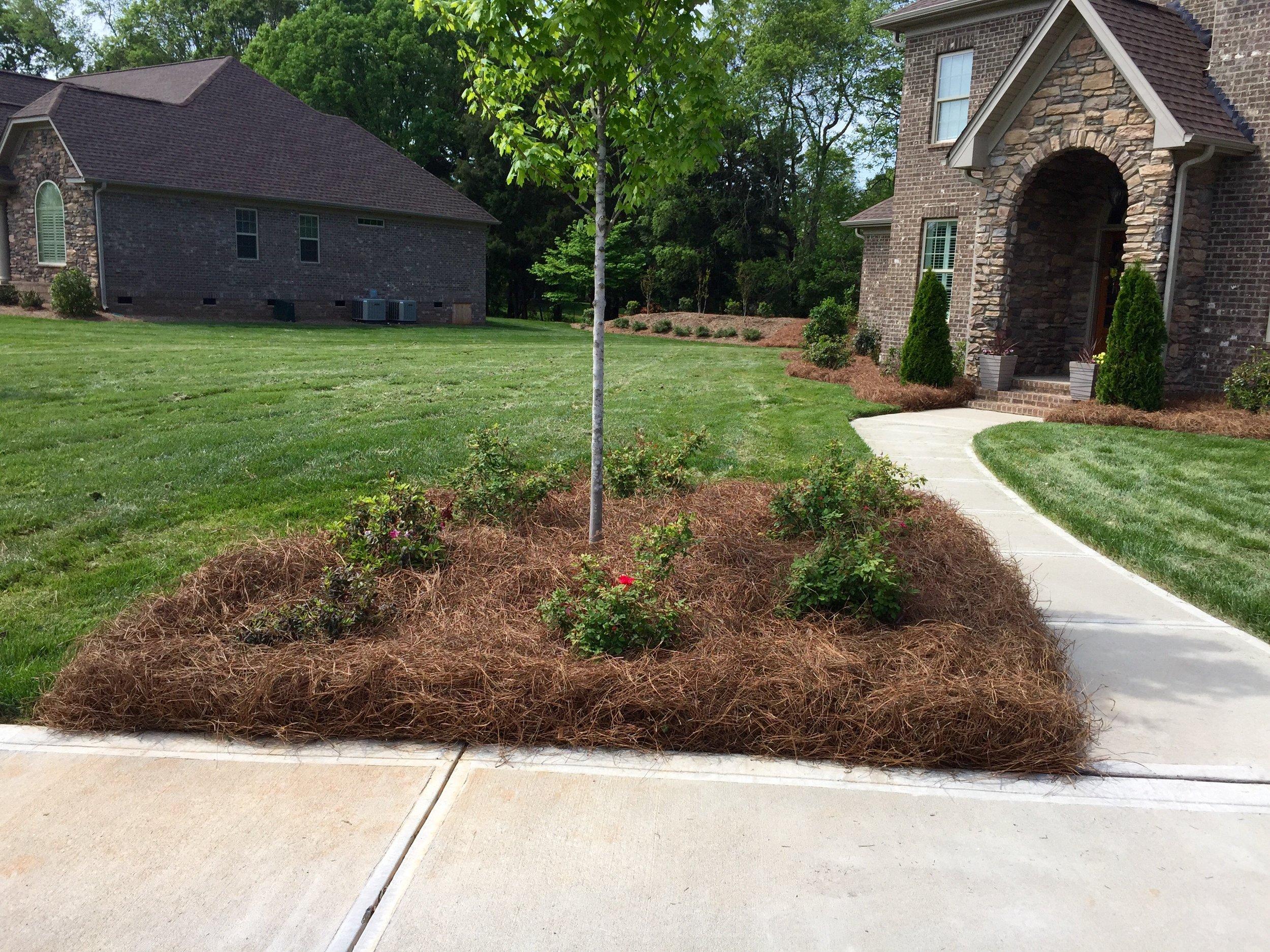 Pine straw mulch around flowers in front yard corner bed.