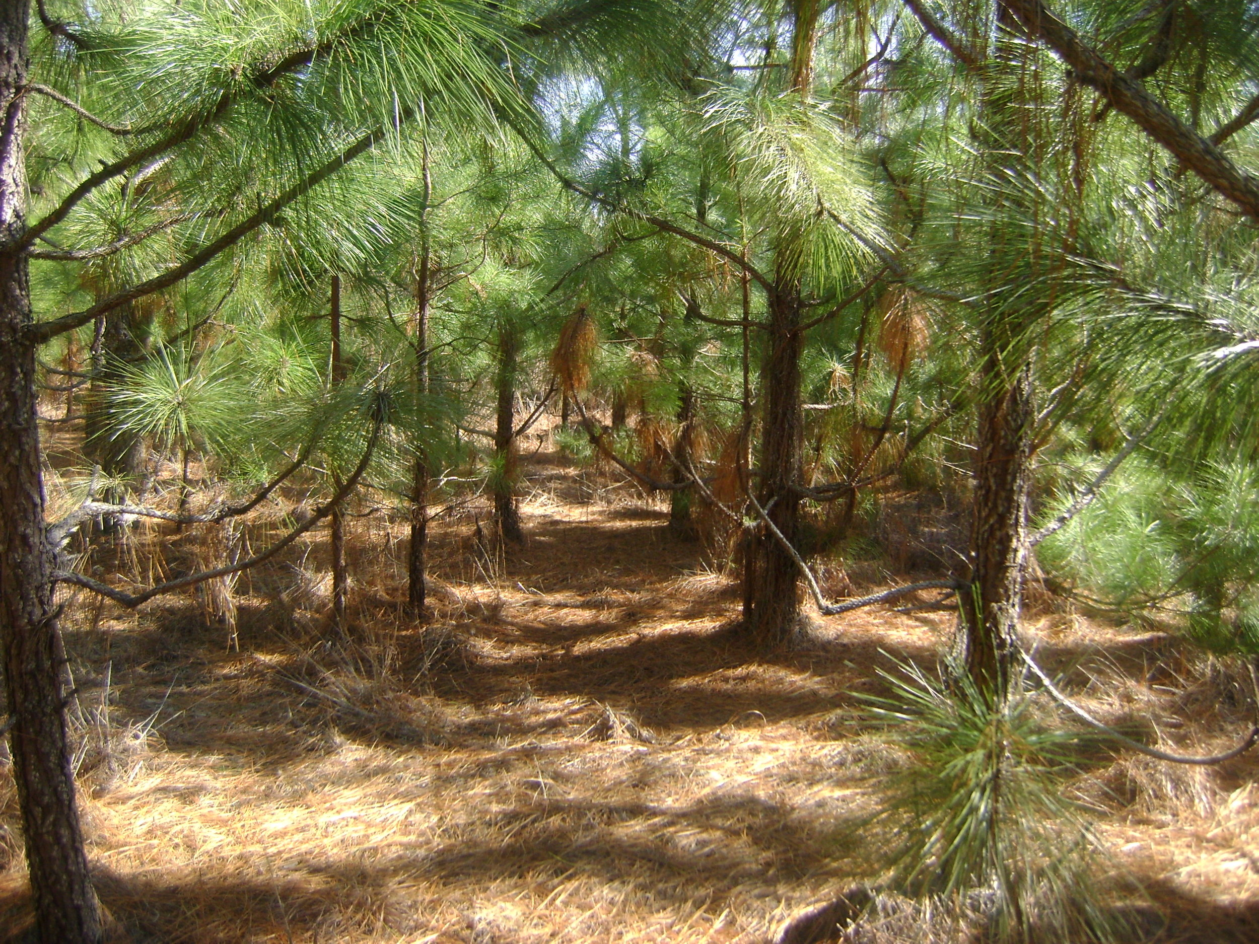 A field of Long Leaf Pine Trees in the early stages of growth.
