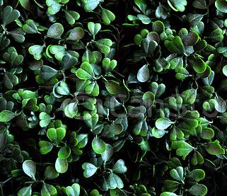 dark-green-color-of-the-heart-leaves-picture_csp48438316.jpg