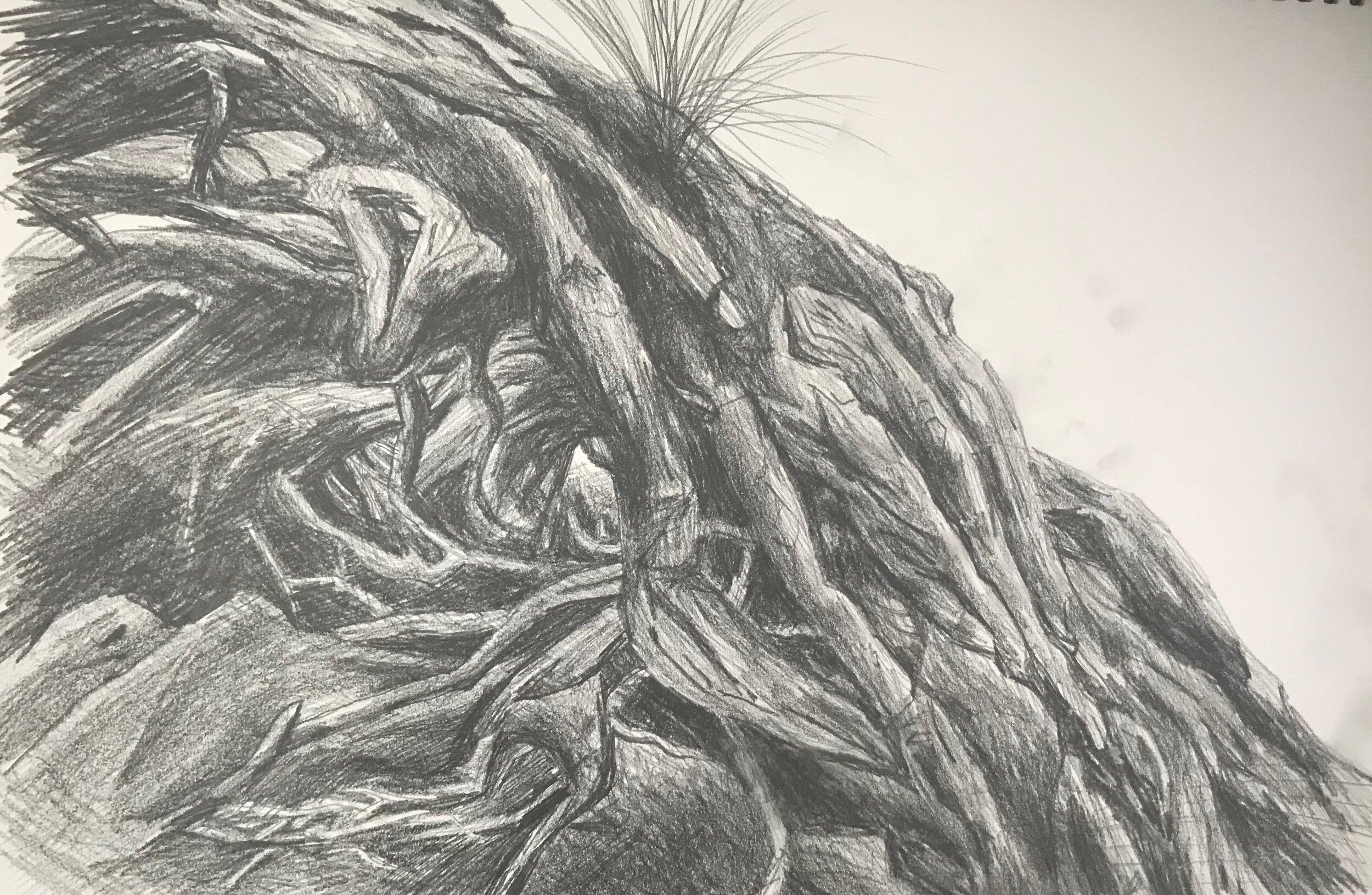 Pohutakawa roots Narrowneck1