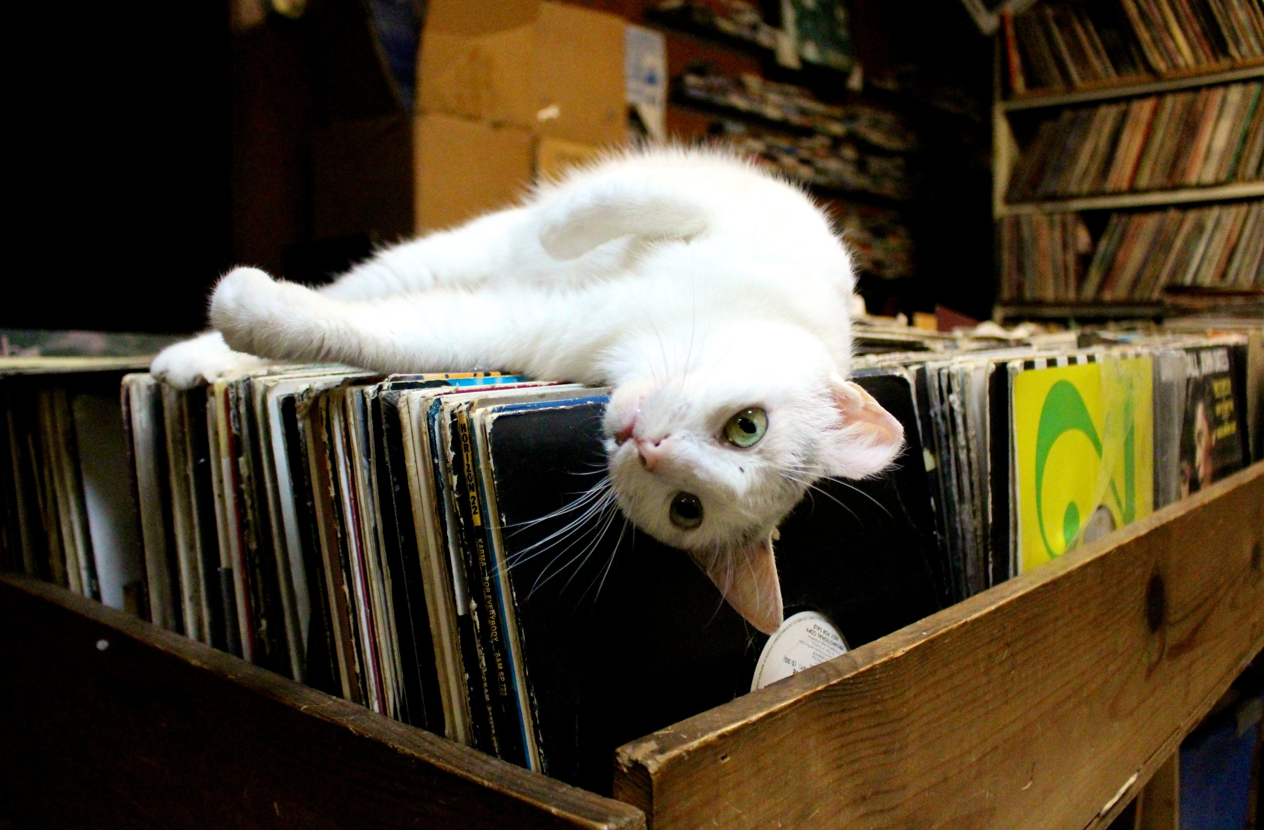 White Girl, the resident cat of Out of the Past Records, wakes up from a leisurely nap at her favorite spot: the top of record collection in the back of Aisle 2.