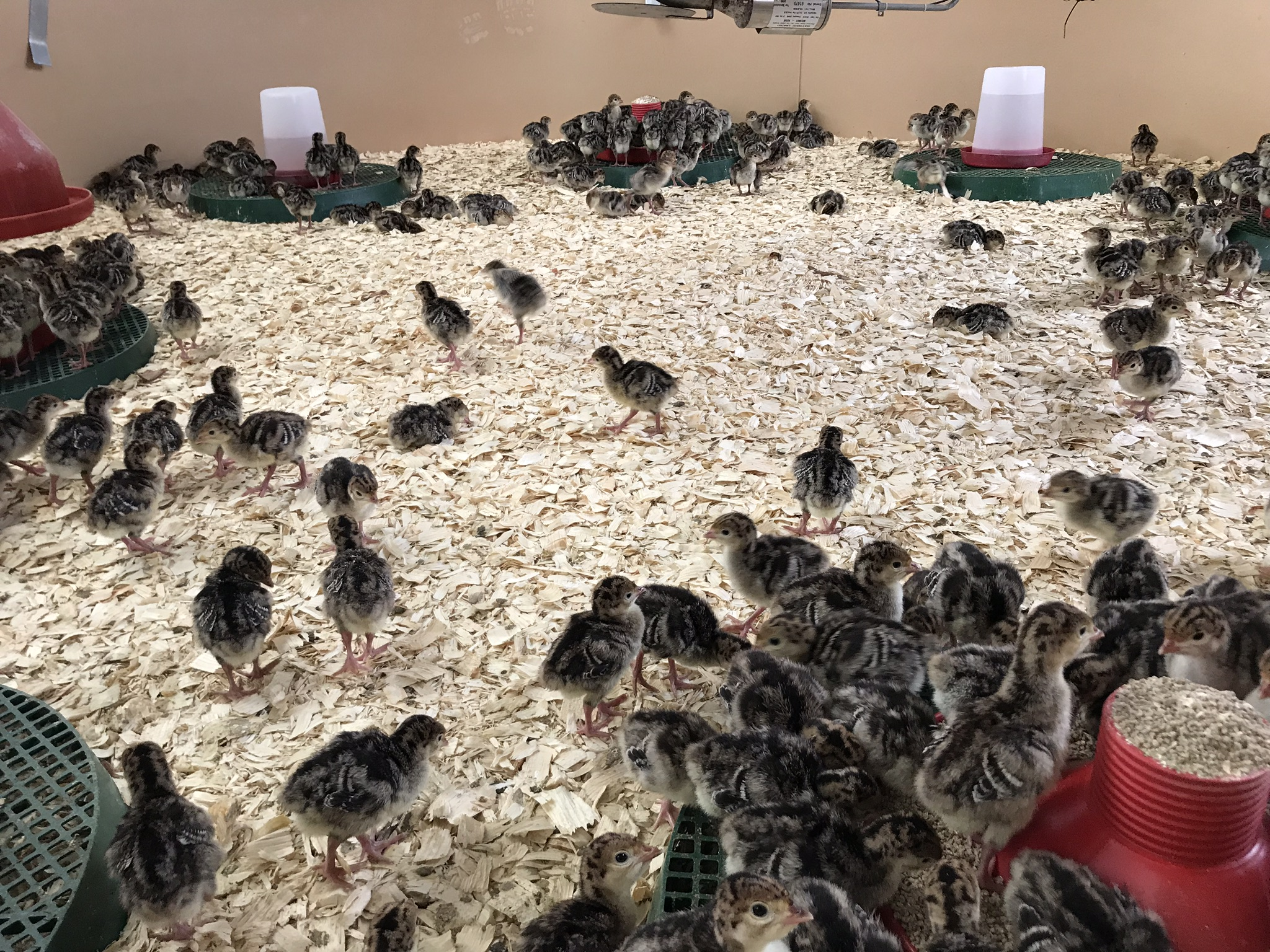 Bramble-farm-bronze-free-range-turkey-chicks-week1