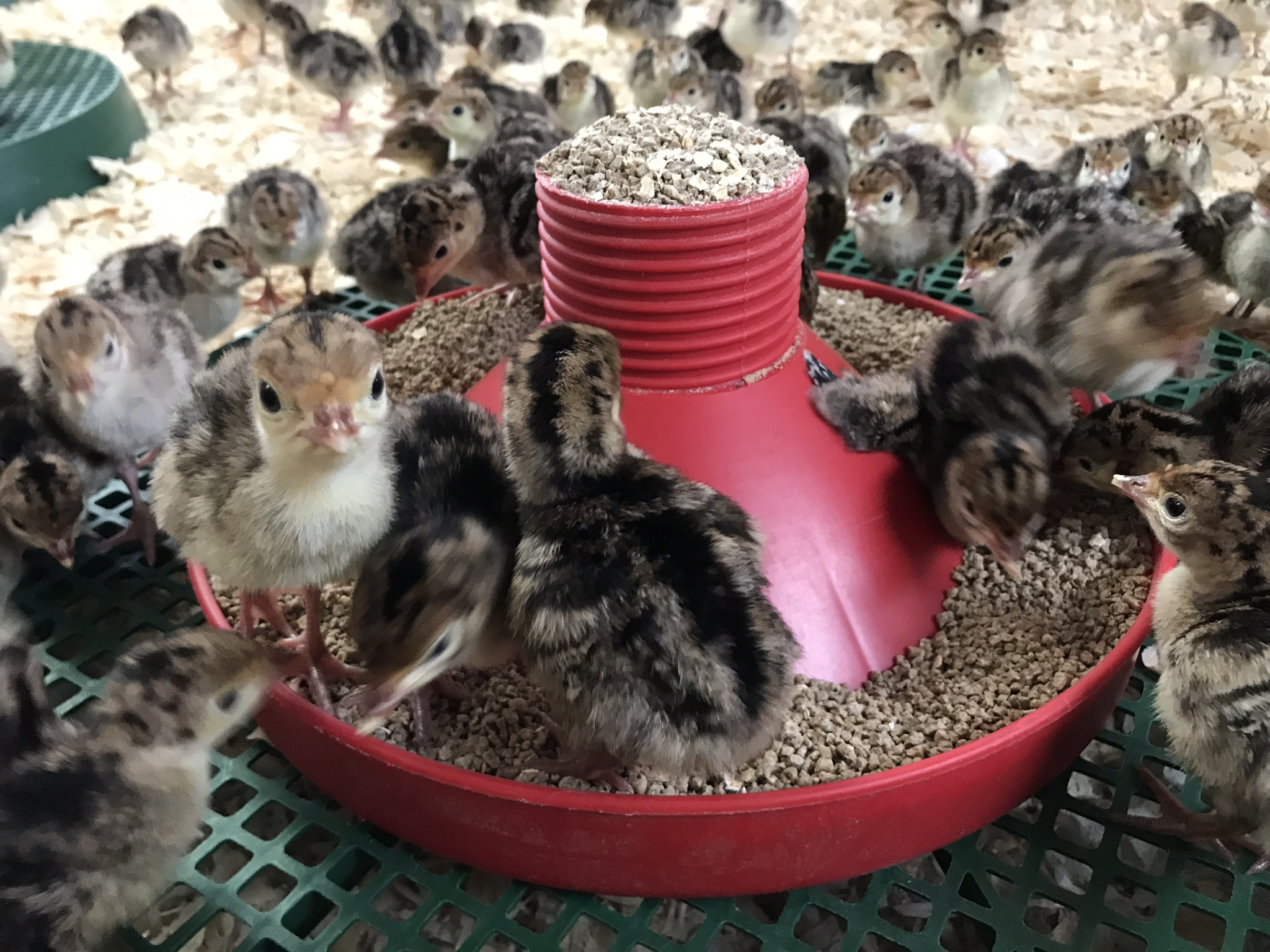 Bramble-farm-bronze-free-range-turkey-chicks-week1-feeding