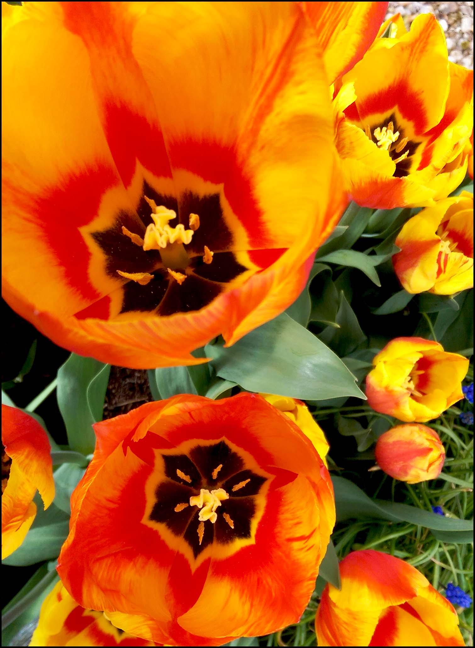 Open-Tulips.jpg