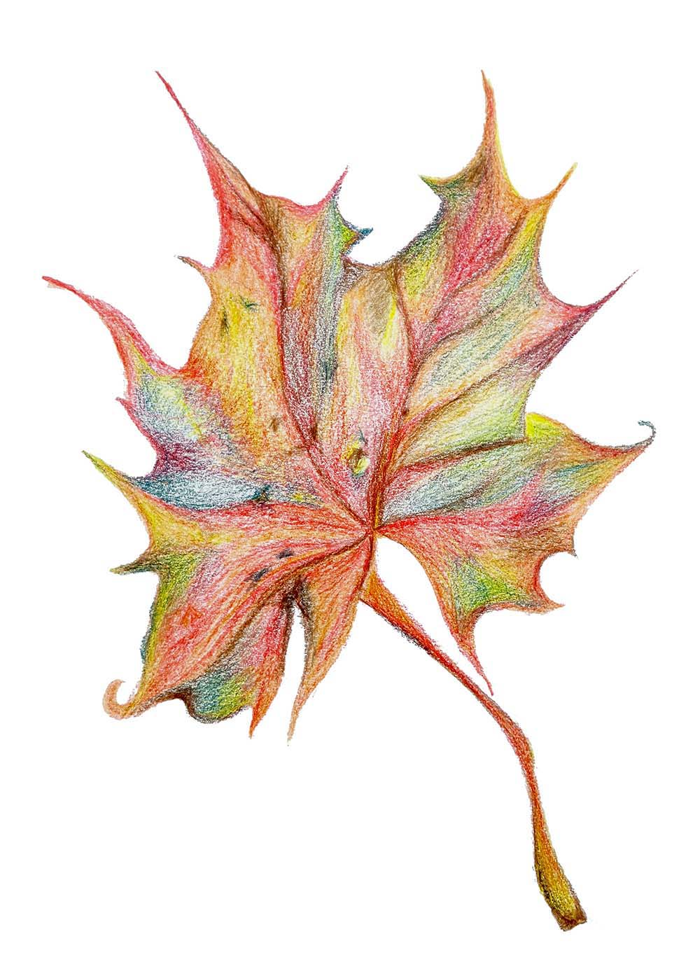 Leaf sketch, Rebecca Johnstone