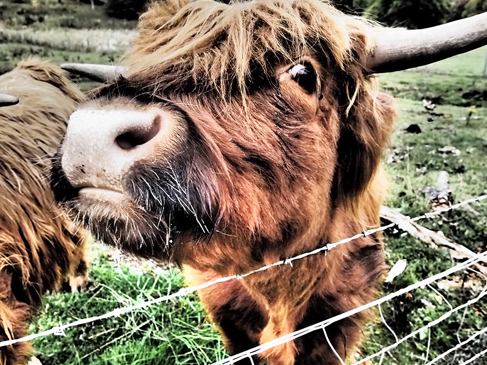 Highland Cow Close Up, Rebecca Johnstone