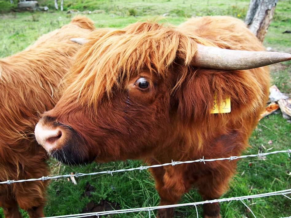 Highland Cow face, Rebecca Johnstone
