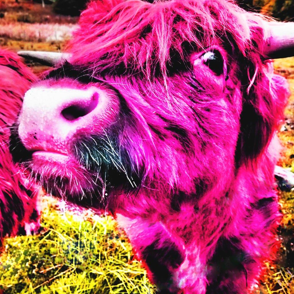 Rebecca Johnstone Highland Cow