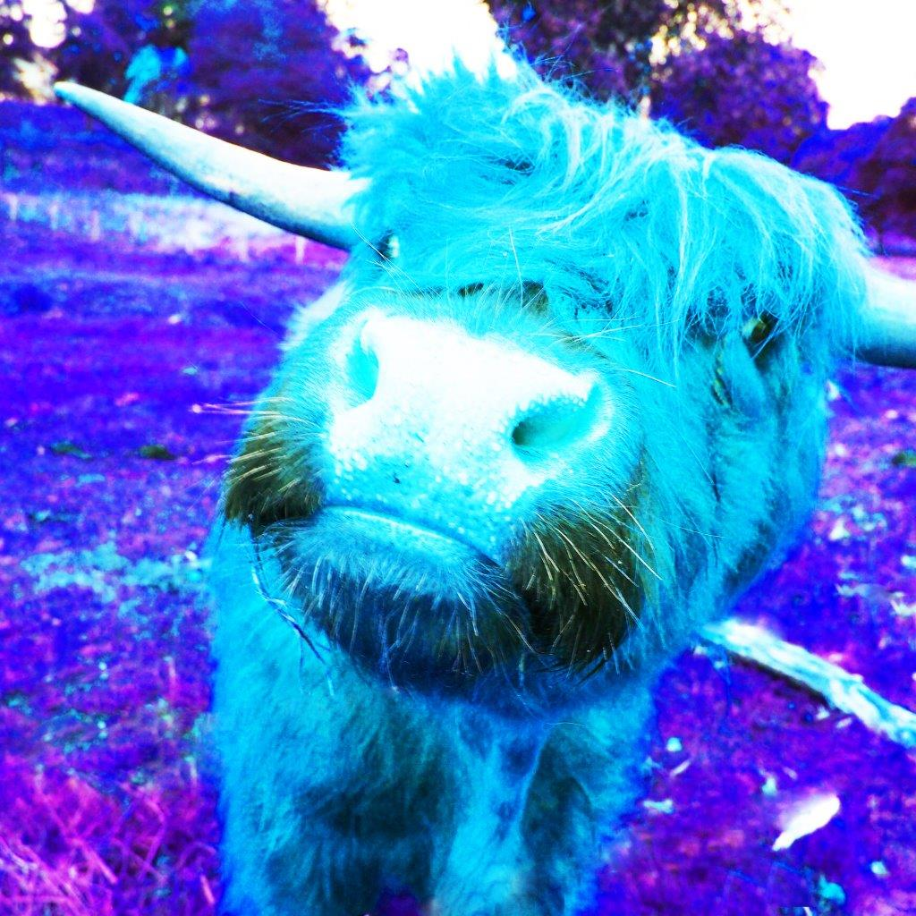 Rebecca Johnstone Highland Cow - Blue