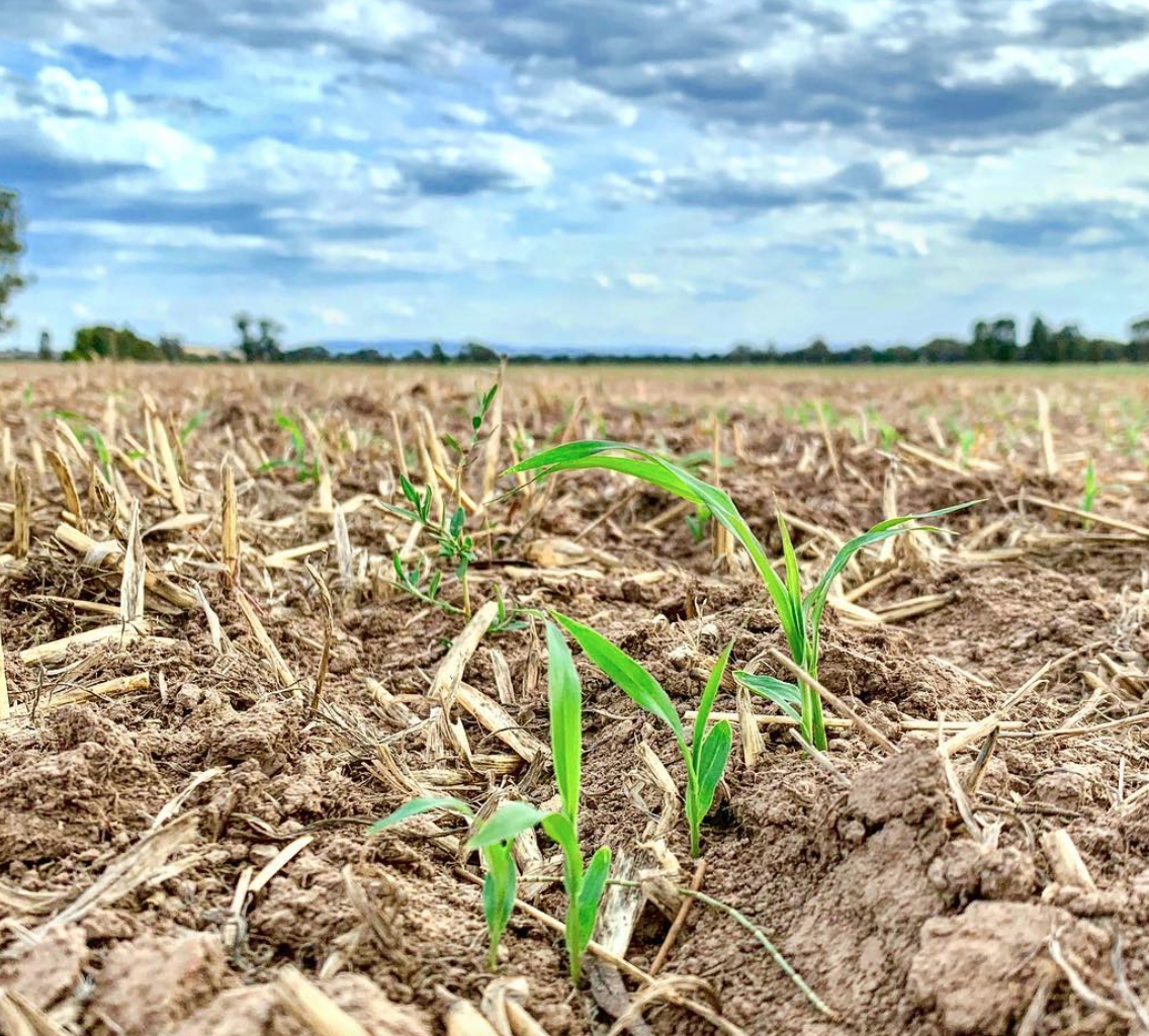 a week after the floods tore through the land these sorghum shoots sprung through - a good sign the land would recover with care