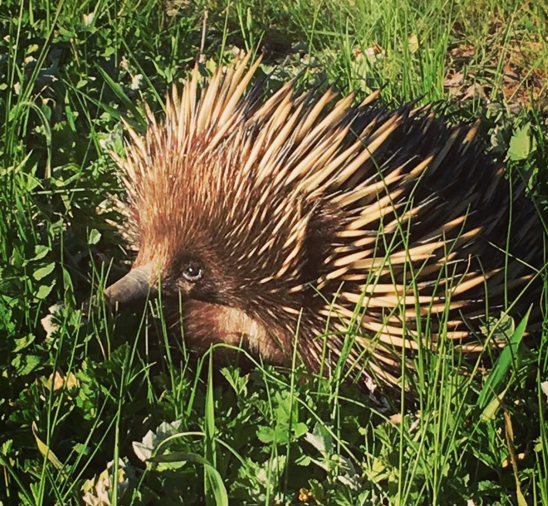 Even a small sign that wildlife is returning as this little echidna pops his head up and the farmers take delight that the land is starting to rebalance. As always the best farms are the ones where both the husband and wife are an integral working team creating the necessary balance to the nurture of the land. - this farm is no exception proving them to be a great team.
