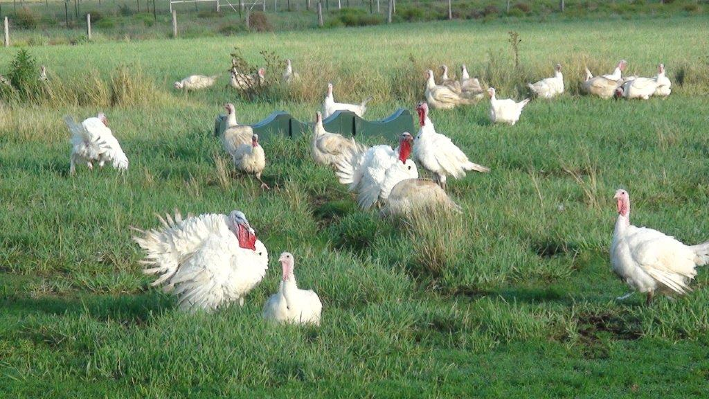 our turkey farmers and happy turkeys