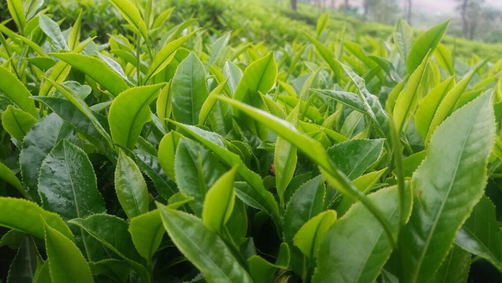 tea_leaves_closeup.JPG