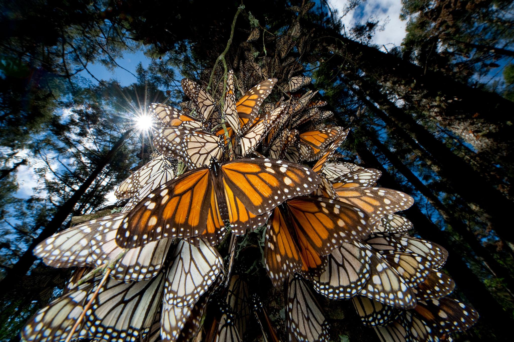 01-monarchs-NationalGeographic_1353541.jpg