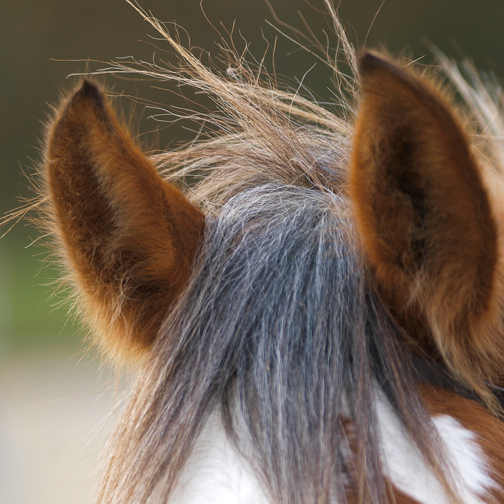 Horse-Ears-Closeup-Sincerus-Leadership.jpg