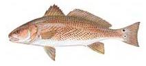 Spottail Bass - Red Drum