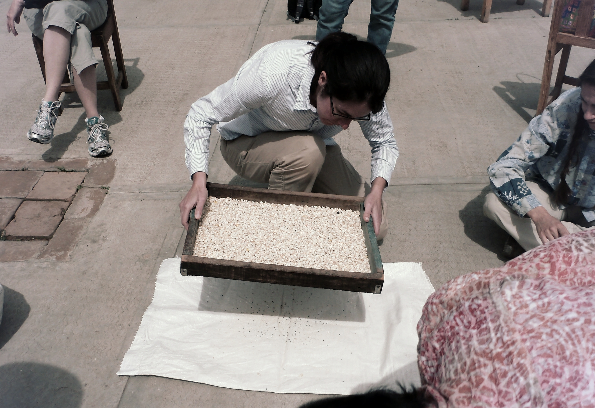 Sorting stored maize for maize weevil, Sitophilus zeamais .
