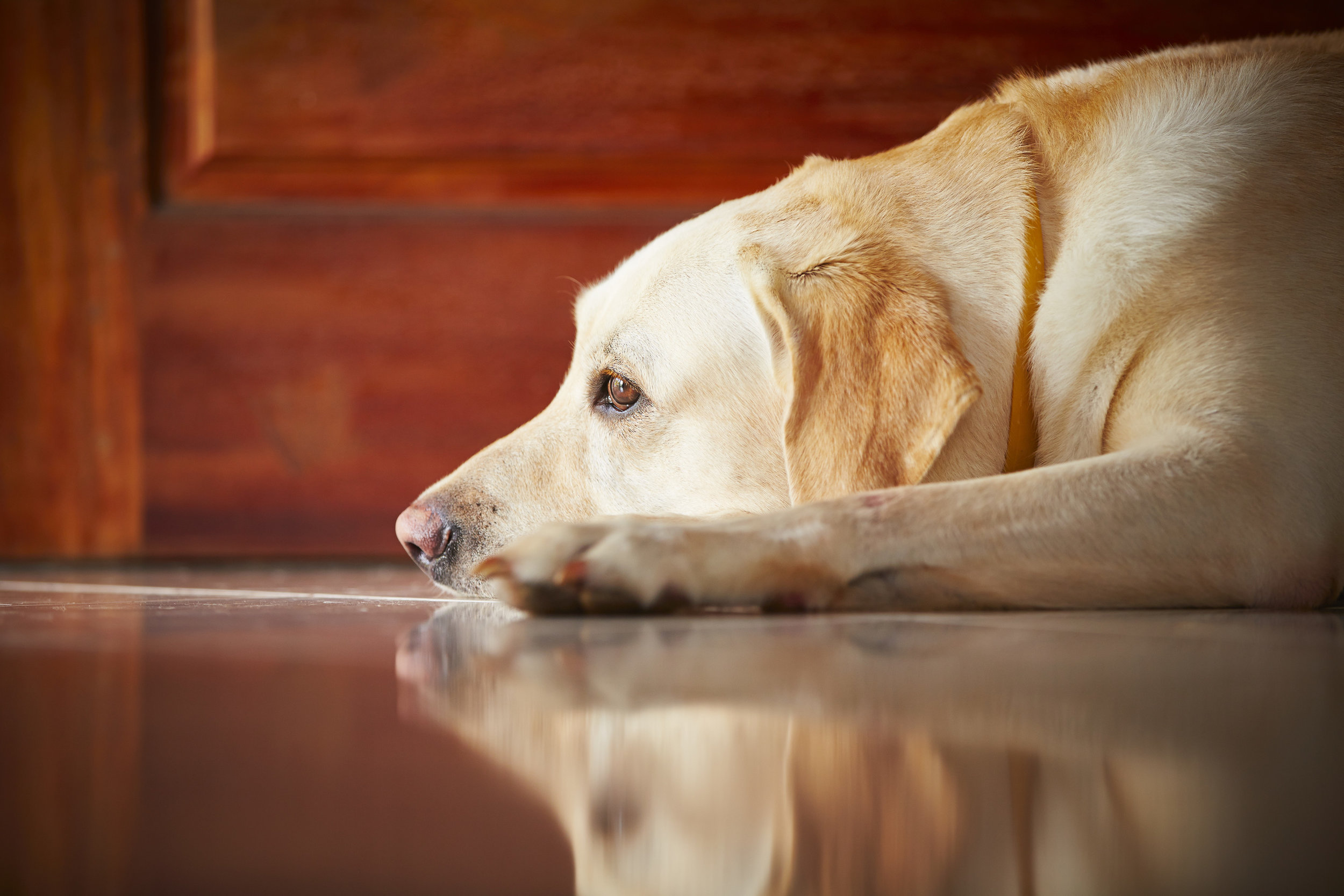 Separation Anxiety in Dogs - from a Certified Separation Anxiety Trainer