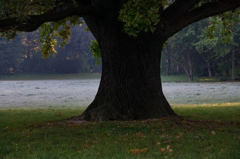 oak-tree-190485__340.jpg