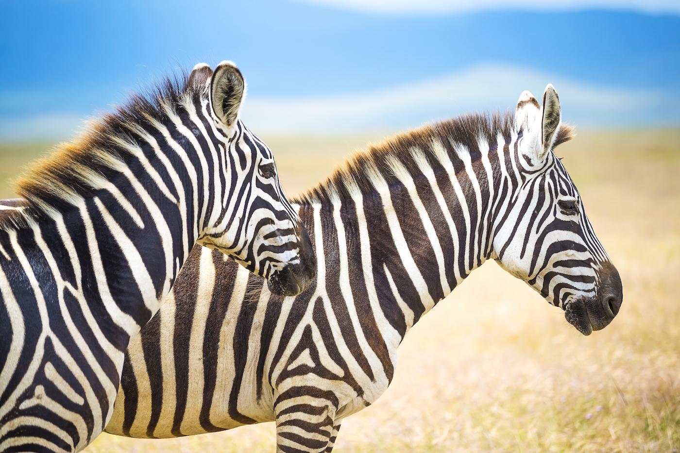 Zebras.1400.jpg