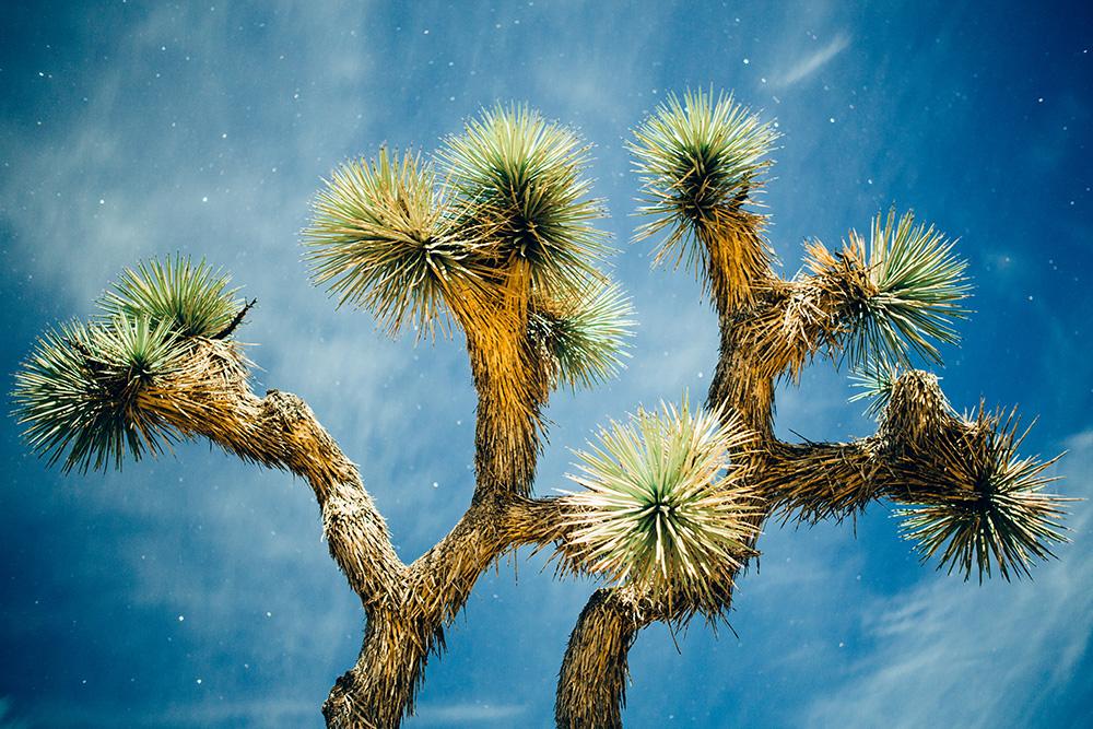 JOSHUA TREE - Stock Photography