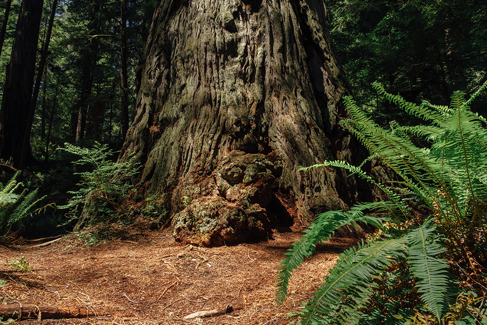 REDWOODS - Stock Photography