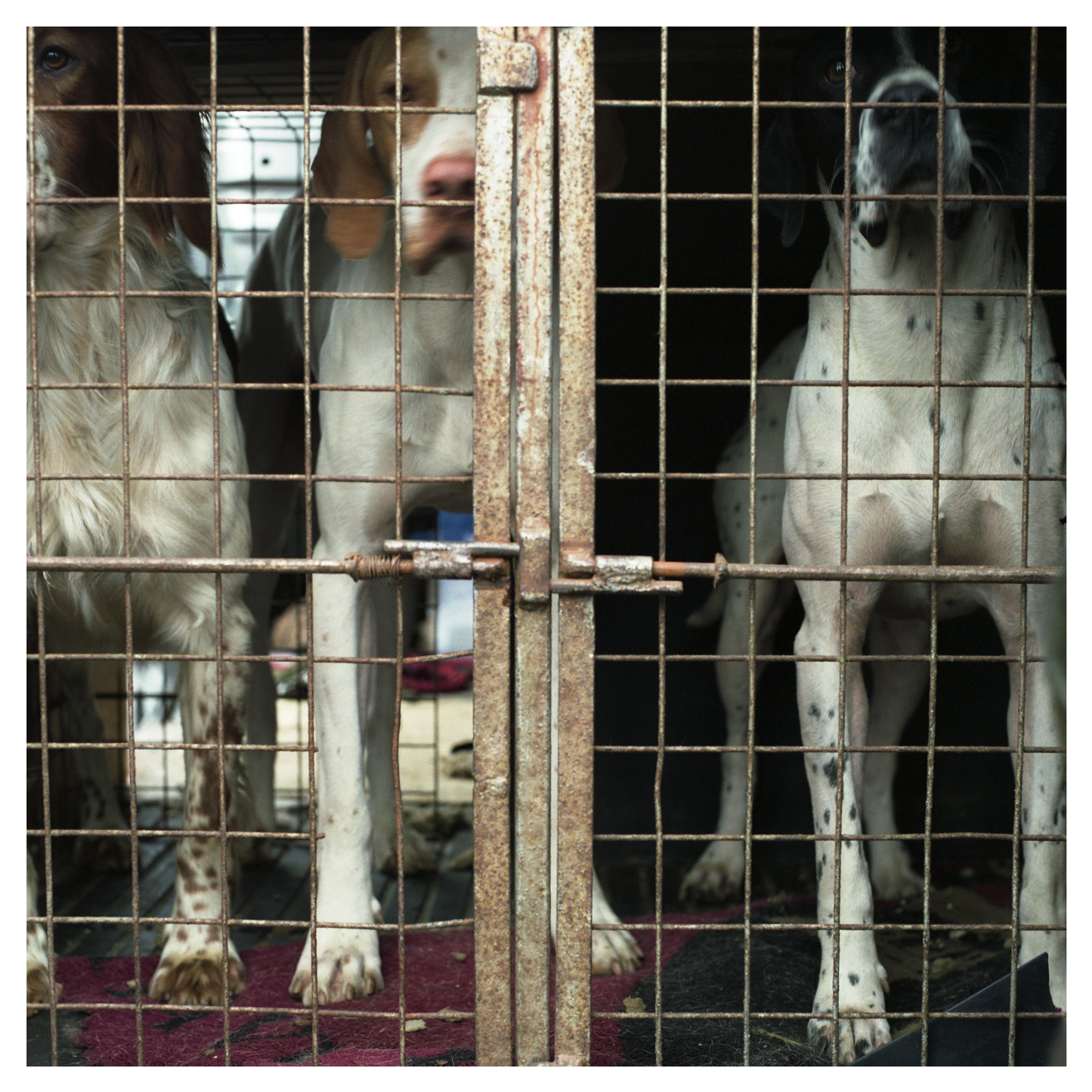 Pointer dogs waiting to be released for the days competition.