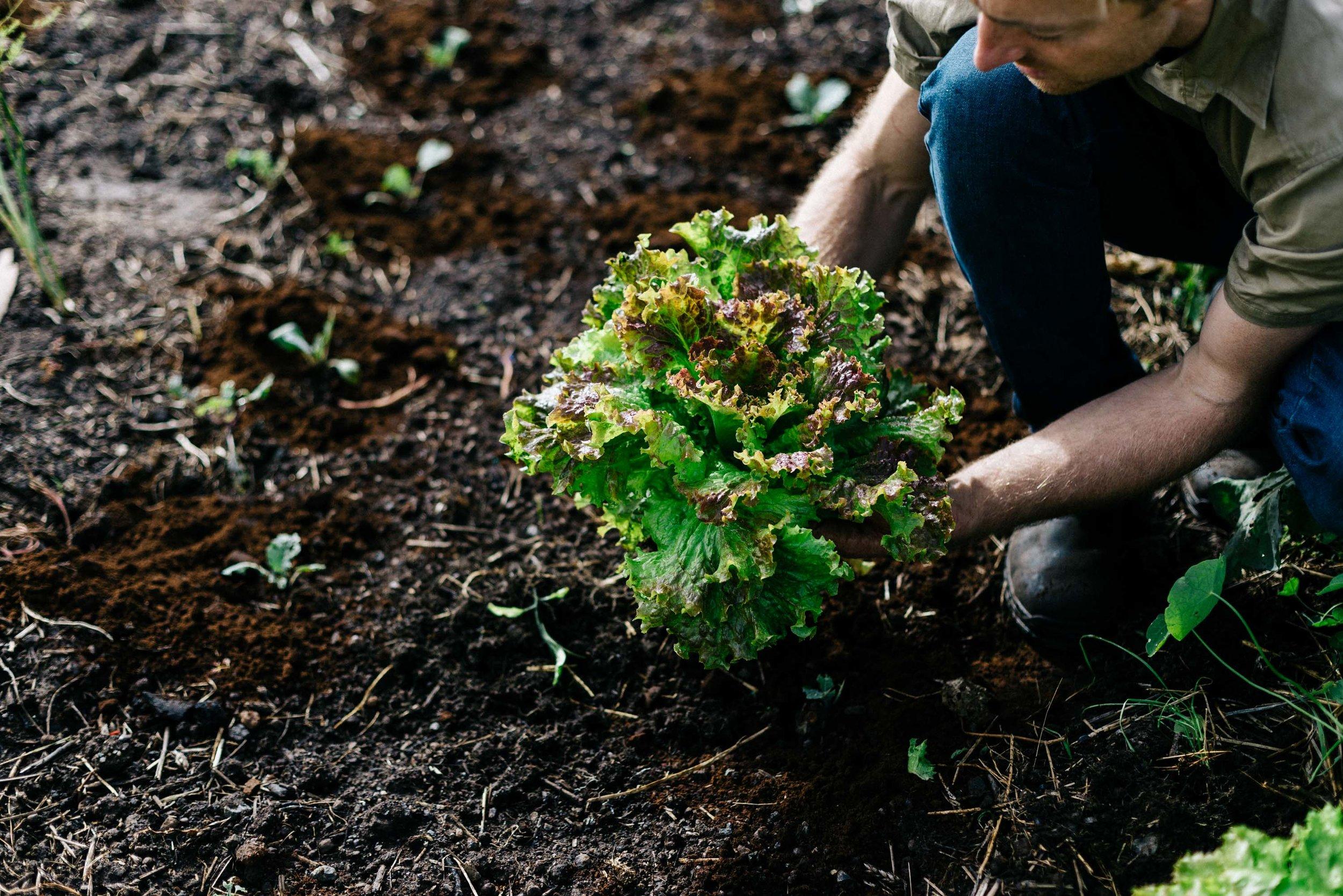 Ben Shaw Permaculture and edible garden design, Geelong and Bellarine Peninsula