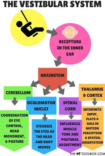 Aquí tienes una descripción un poco más detallada de cómo el oído interno recibe y transmite las señales externas al tronco encefálico y, de aquí, al resto de zonas funcionales del cerebro.