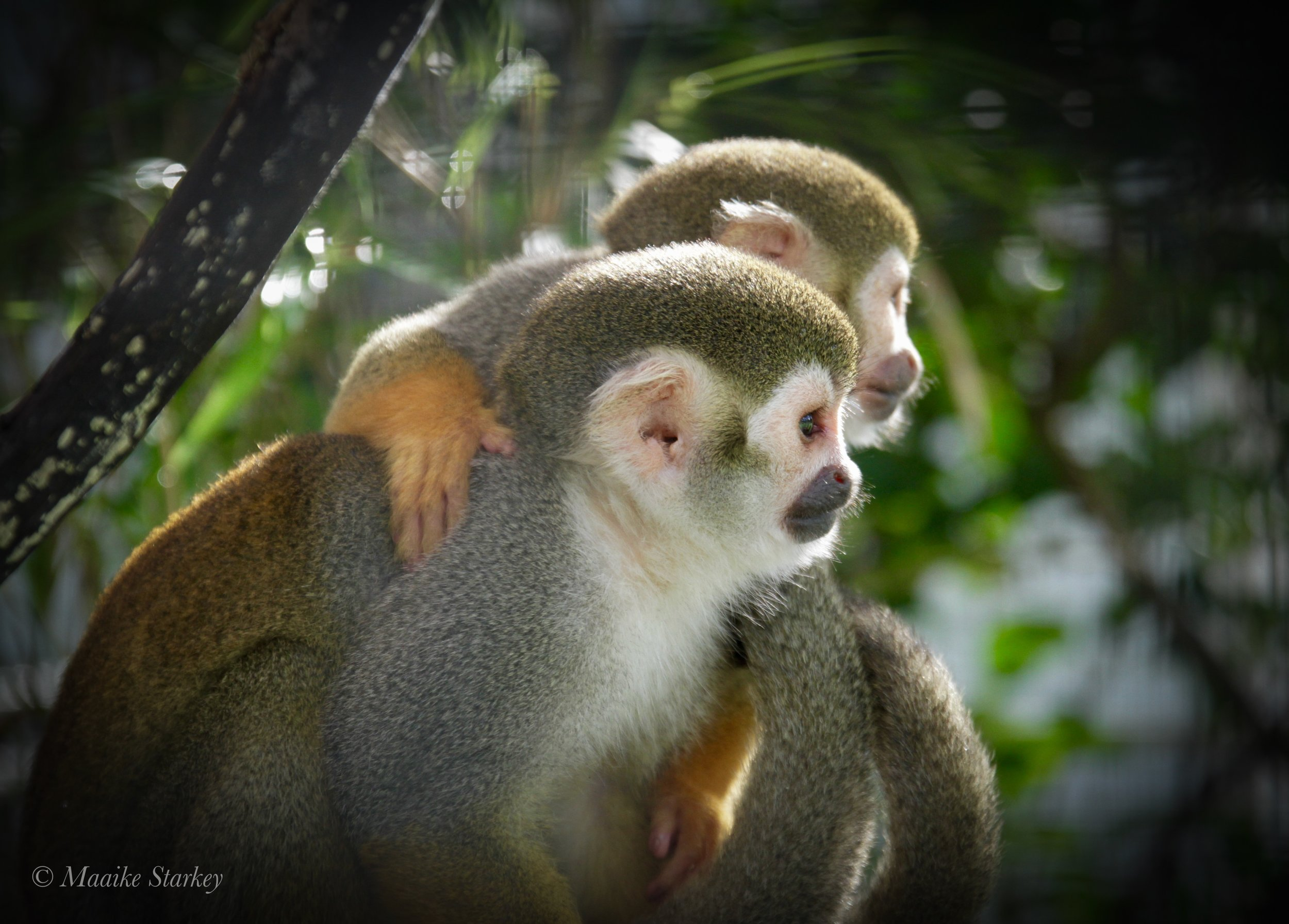 Successful Monkey Retirement - We advise research institutions and primate sanctuaries during monkey retirement negotiations to facilitate successful outcomes for all involved, including the monkeys.