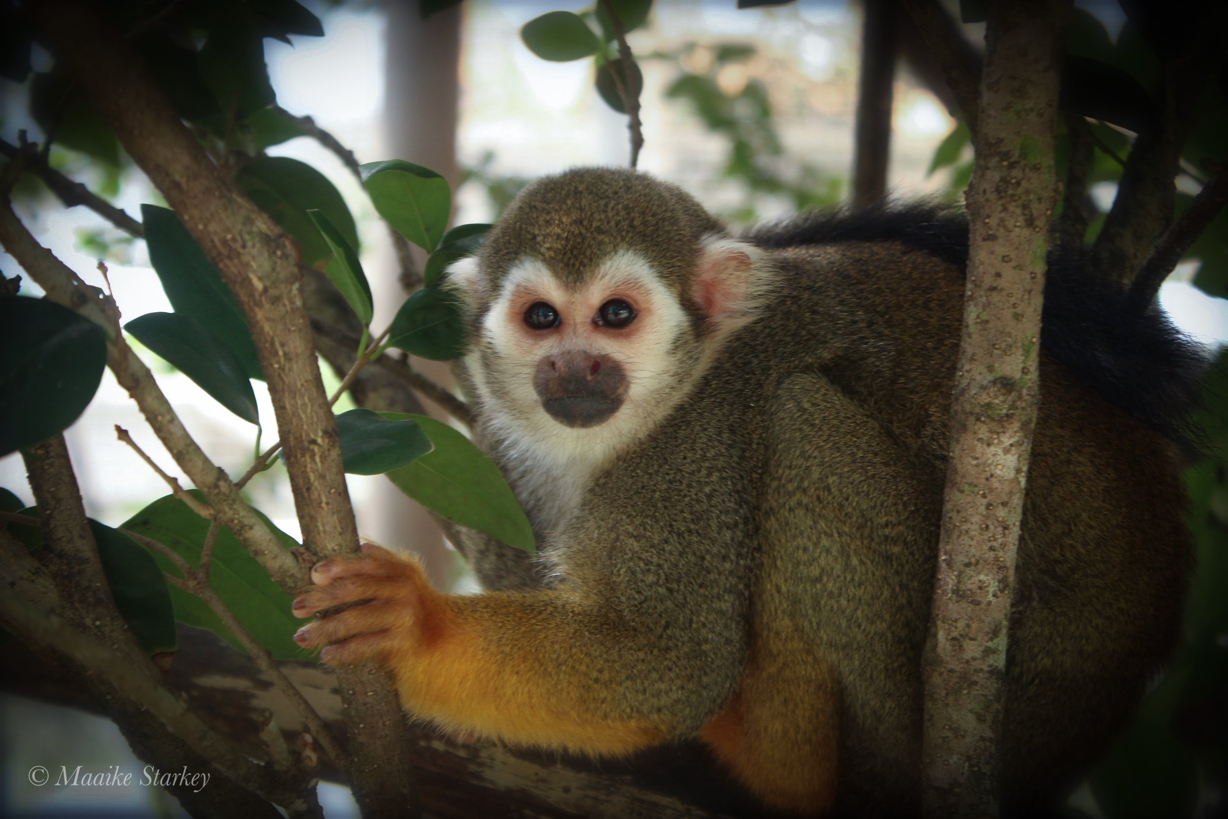 Squirrel Monkey Haven (SMH) - An enriching lifelong home for squirrel monkeys retired from research.