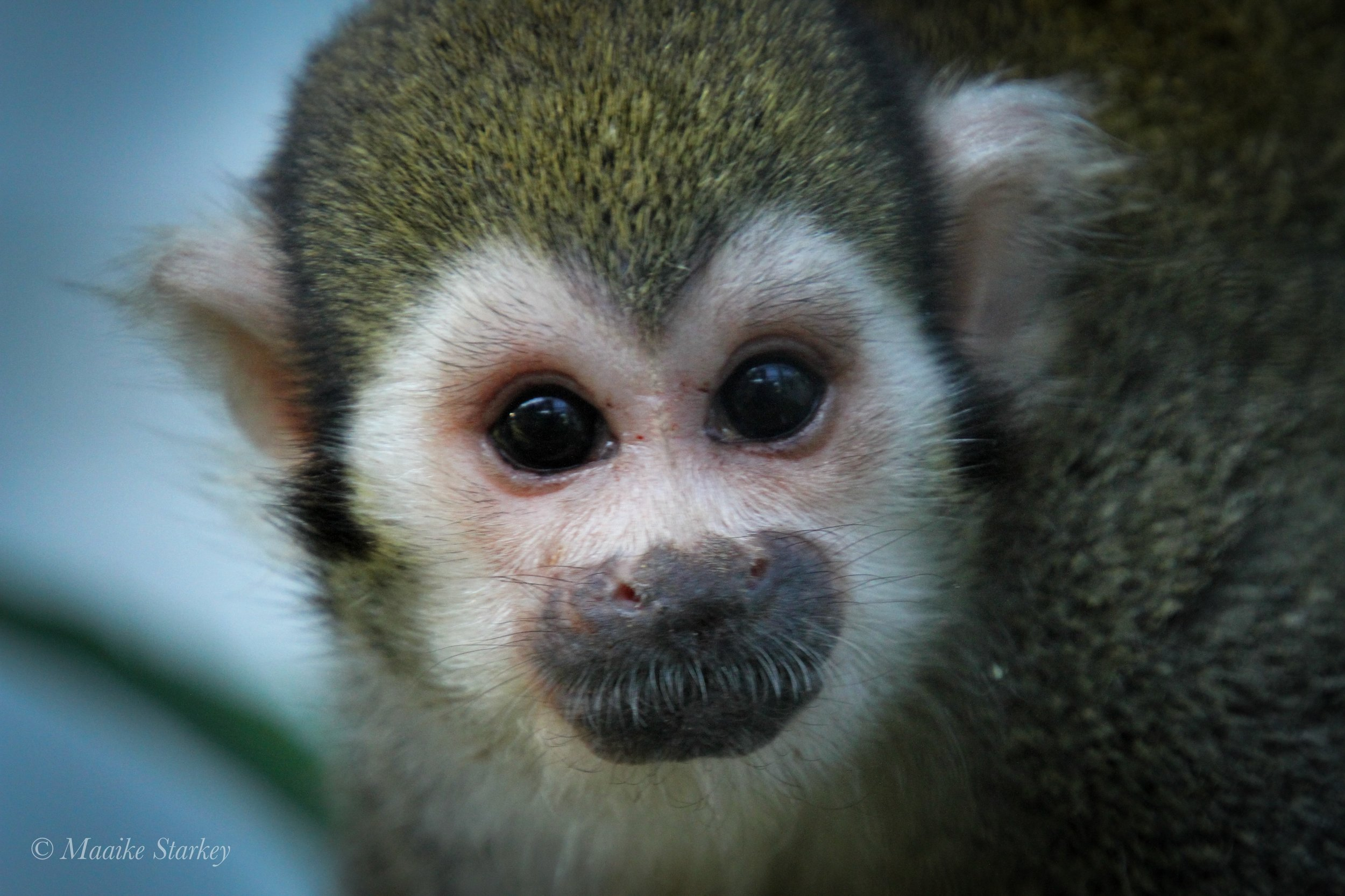 Is it safe to release monkeys from research? - VETERINARIANS provide healthcare to monkeys used in research and only release healthy monkeys for retirement.