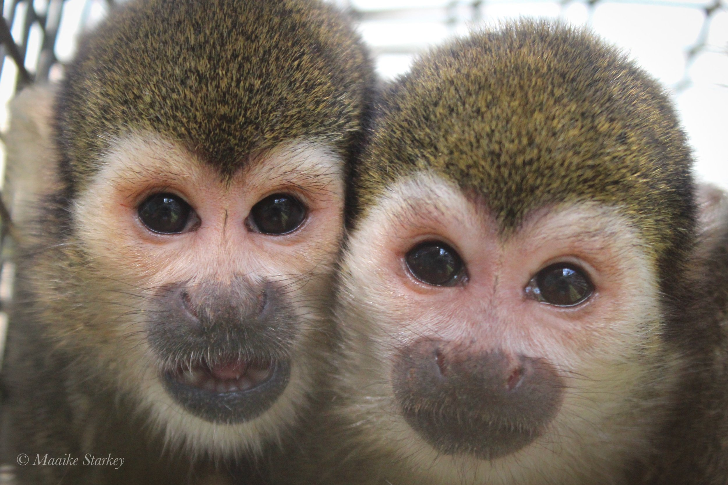 What are squirrel monkeys like? - Although small at about 1 to 2 lbs, they have big personalities, are curious about everything, have lots of smarts, and are super social with each other.