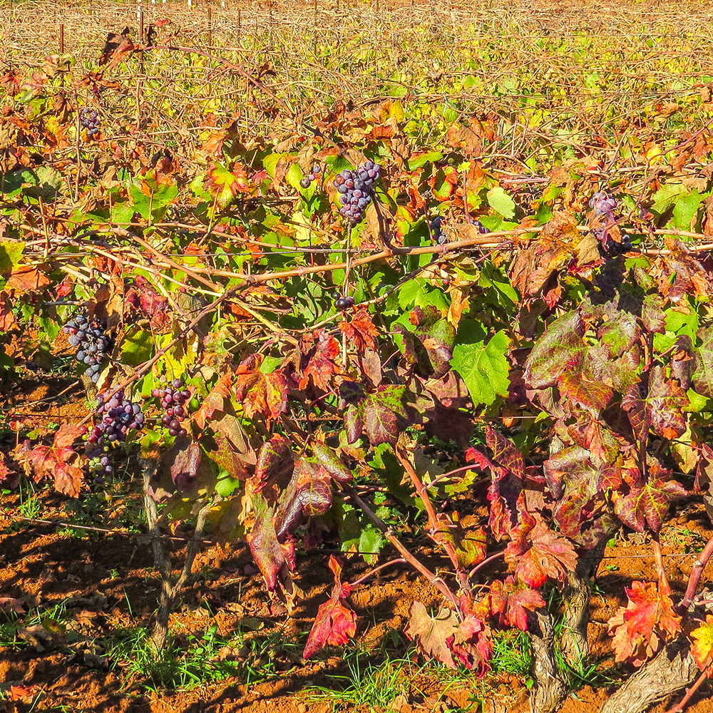 2017_OCT_Vineyard02.jpg