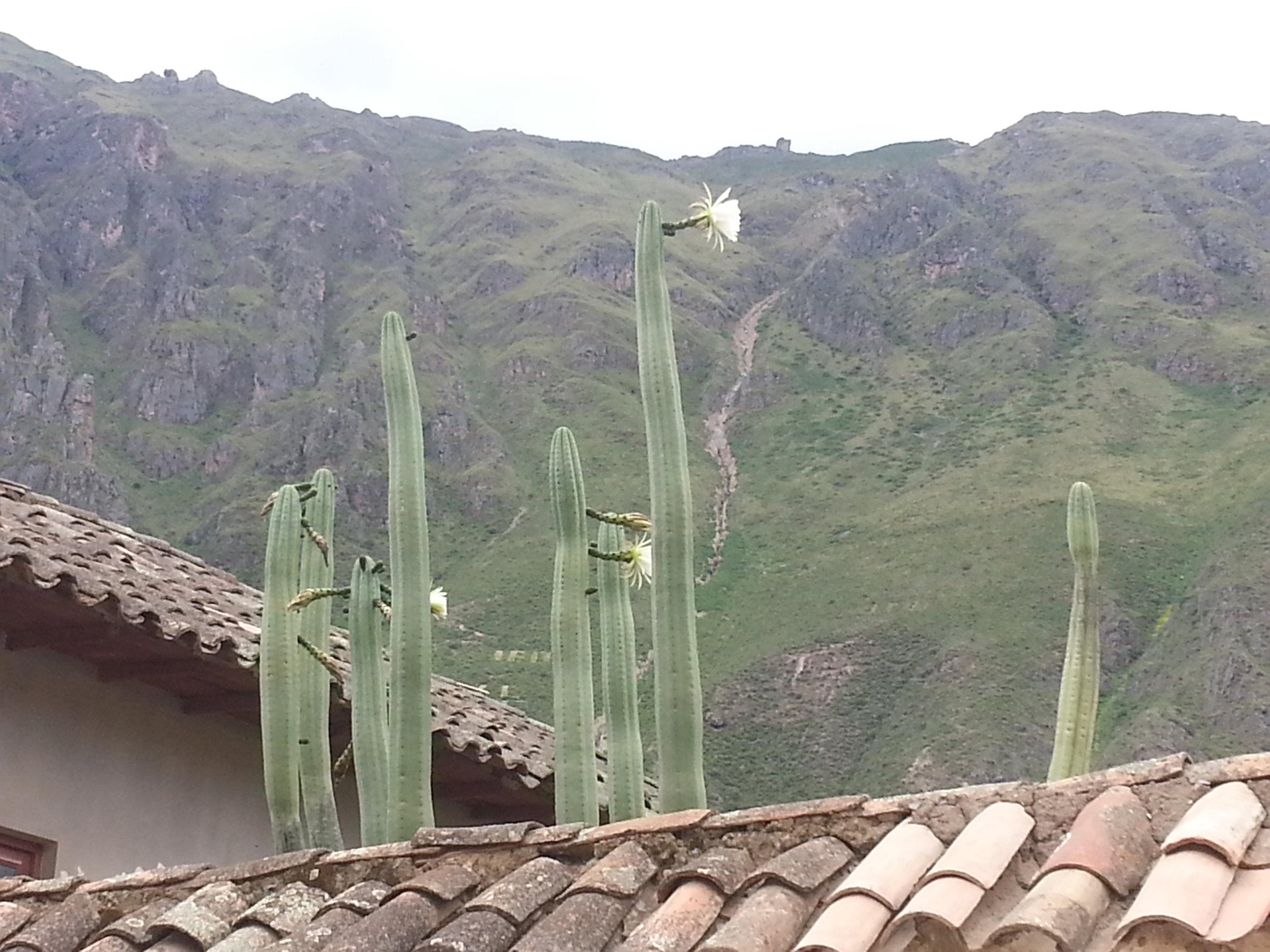 Huachuma in bloom, Ollantaytambo, Peru.