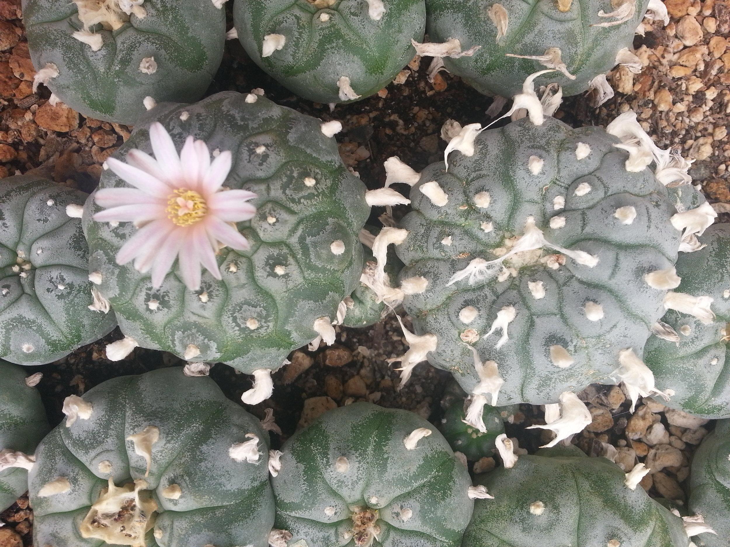 Peyote in bloom, Arizona.