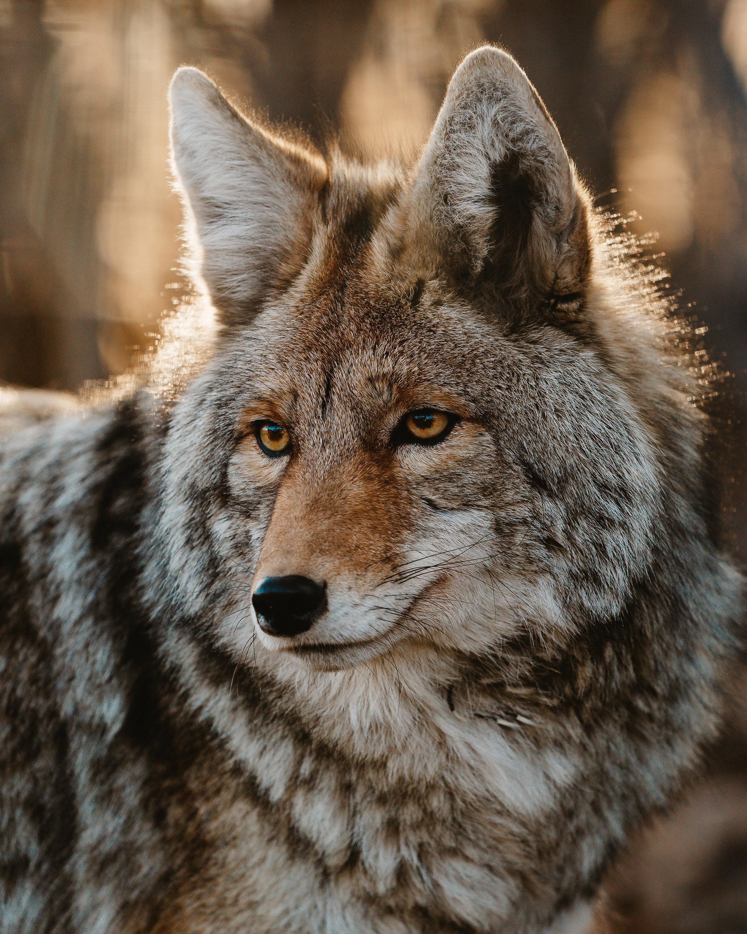 Coyote (2 of 1).jpg